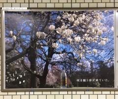 20160321_いいちこ咲き競う春が来ていた